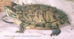 zółwik